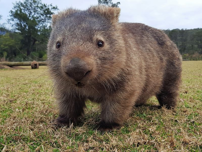 Wombat staring into the camera
